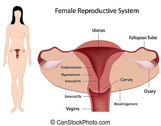 system, reproduktiv, eps8, weibliche
