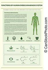 system, senkrecht, endocannabinoid, infographic, menschliche , funktionen
