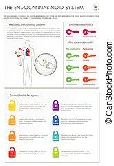 system, senkrecht, geschaeftswelt, infographic, endocannabinoid