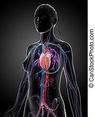 system, weibliche , vaskulär