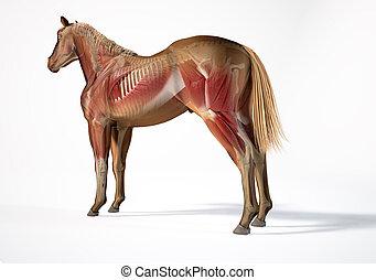 systems., skelettartig, anatomy., pferd, muskulös