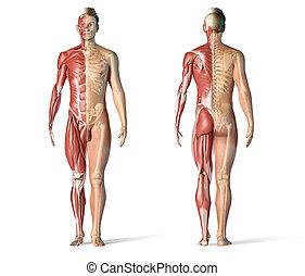 systems., skelettartig, koerperbau, muskulös, mann