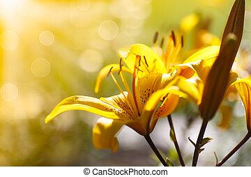 tages lilien, sonnig, blühen, gelber