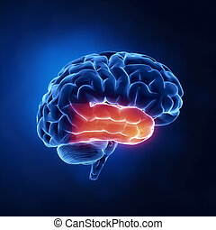 Temporallappen - menschliches Gehirn im Röntgenbild