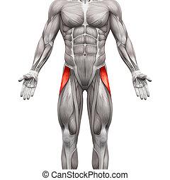 Tensor fasciae latae Muskel - Anatomie Muskeln isoliert auf weiß - 3D Illustration.