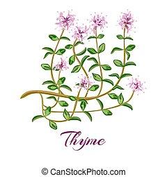 thyme., blühen, herb., thymian