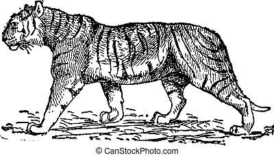 Tiger (Panthera Tigris), klassische Gravur.