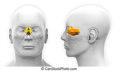 totenschädel, -, freigestellt, koerperbau, ethmoid, weißer mann