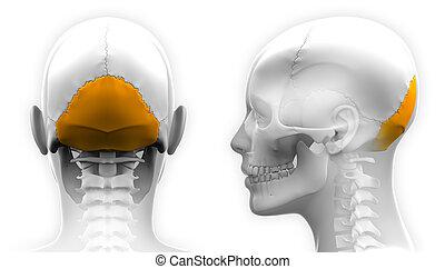 totenschädel, -, freigestellt, occipital, koerperbau, weibliche , weißes, knochen
