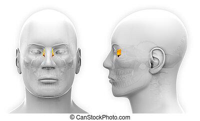 totenschädel, lacrimal, -, freigestellt, koerperbau, weißer mann