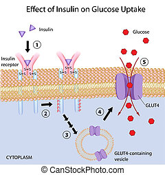 traubenzucker, uptake, effekt, insulin