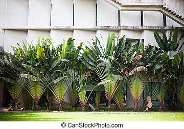 Travelers Baum (Ravenala Madagaskariensis