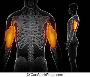 Triceps brachii schwarzer Anatomiemuskel isoliert.