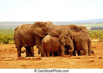 umarmung, gruppe, elefant