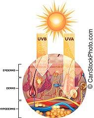 Ungeschützte Haut ohne Sonnenschutzcreme, UVB und UVA dringt in die Haut ein.