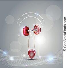 Urinische Blase und Nieren