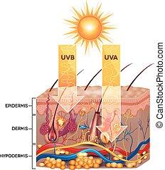 UVB und UVA Strahlung dringen in die Haut ein. Detailierte Hautanatomie.