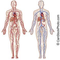 vaskulär, blut, system