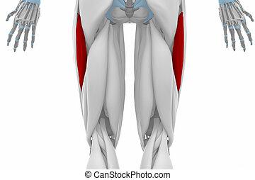 Vastus lateralis - Anatomie Kartenmuskeln.