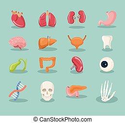 Vector interne Organe Zeichentrick-Ikone.