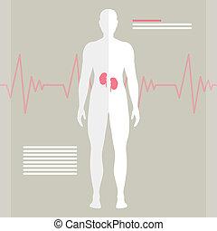 Vector menschliche Nieren.