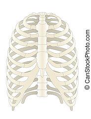 Vector menschliche Skelettknochen