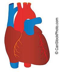 Vector menschliches Herz, medizinische Anatomie