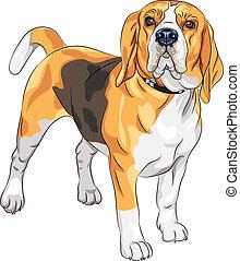 Vector Sketch ernster Hund Beagle Rasse