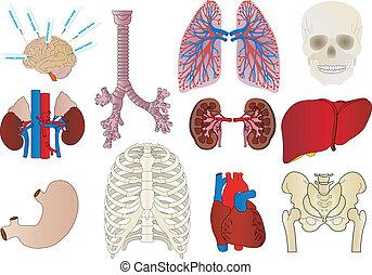 Vektor ein Set von einem Körper einer Niere, einer Leber, einer Trachea, einem Magen, Herz