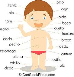 vektor, menschliche nutzdatenteil, vokabeln, abbildung, spanischer