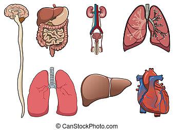 vektor, menschliche , organ