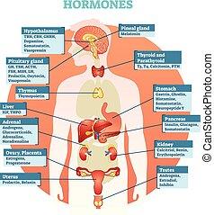 vektor, menschlicher körper, hormone, abbildung, diagramm