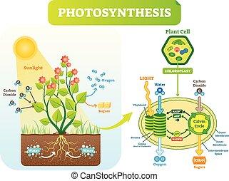 vektor, photosynthese, scheme., zelle, biologisch, plan, abbildung, diagramm