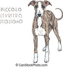 vektor, rasse, windhund, hund, italienesche