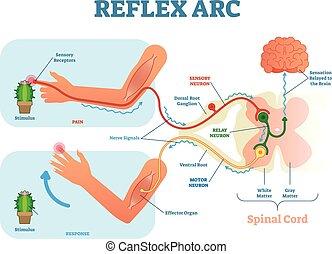 vektor, schnur, stab übergabe, abbildung, anreiz, reflex, neuron, neuron, anatomisch, sensorisch, spinal, bogen, motor, tissue., muskel, schema, bahn