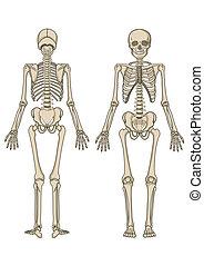 vektor, skelett, menschliche