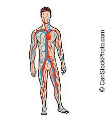 venös, mann, arteriell, system, zirkulierend, abbildung, zirkulation, blut, menschliche , body., vektor, system.