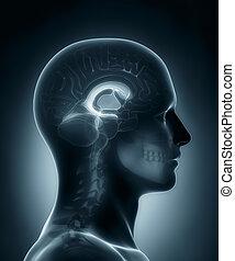 ventrikel, medizinische röntgenaufnahme, überfliegen