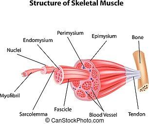 Veranschaulichung des Skeletts.