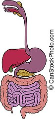 verdauungsfördernd, darm, diagramm, gebiet, gastrointestinal