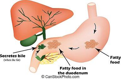 Verdauungsorgane. Verdauungsapparat. Bile für die Verdauung von fetten Lebensmitteln. Infographics.