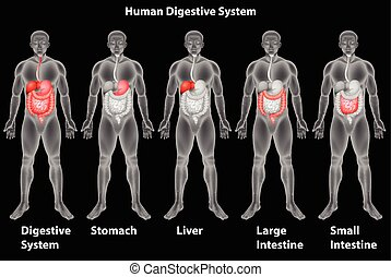 verdauungssystem, menschliche