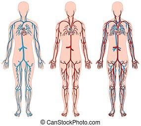 Verschiedene Diagramme von Blutgefäßen in Menschen.