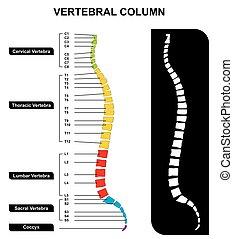vertebral, rückgrat, spalte, koerperbau, diagramm