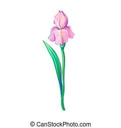 Vintage beautiful pink iris Vektorhand Zeichnung isoliert auf weißem Hintergrund.