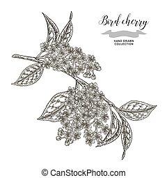 Vogelkirschenzweig. Hand gezeichnete Vogel-Kirchenblumen. Botanische Vektorgrafik.
