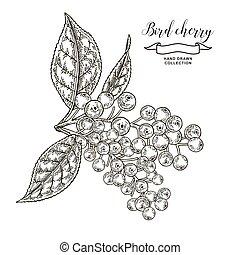 Vogelkirschenzweig mit Beeren und Blättern. Handgezeichnete Vogelkirsche. Vector Illustration eingraviert.