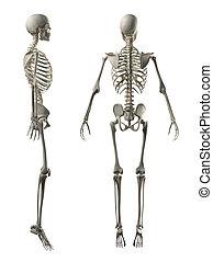 voll, skelett, zurück, mann, seitenansicht