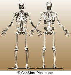 vorderansicht, skelett, mensch zurück