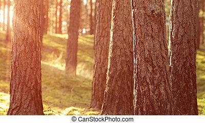 Warme Sommersonne im Pinienwald.
